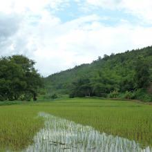Arrozal en Chiang Rai