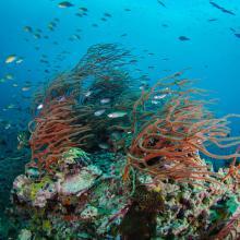 Coral en Koh Tao