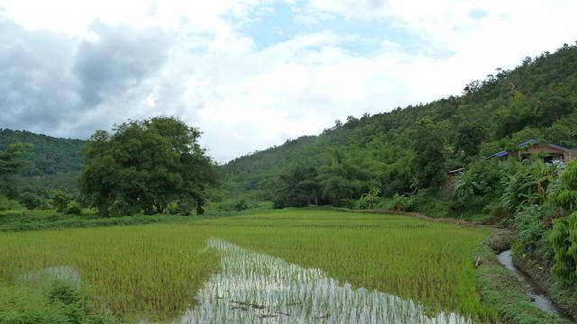 Arrozales de Tailandia